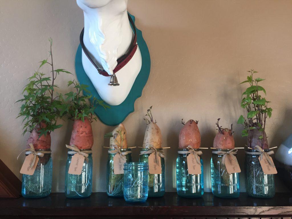Growing Sweet Potato Slips 5 Week Update Adventuristaaz